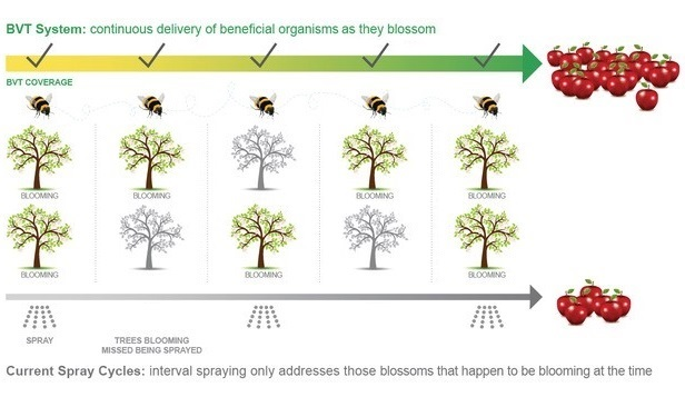 blossom coverage on apple trees for BVT versus traditional spray intervals