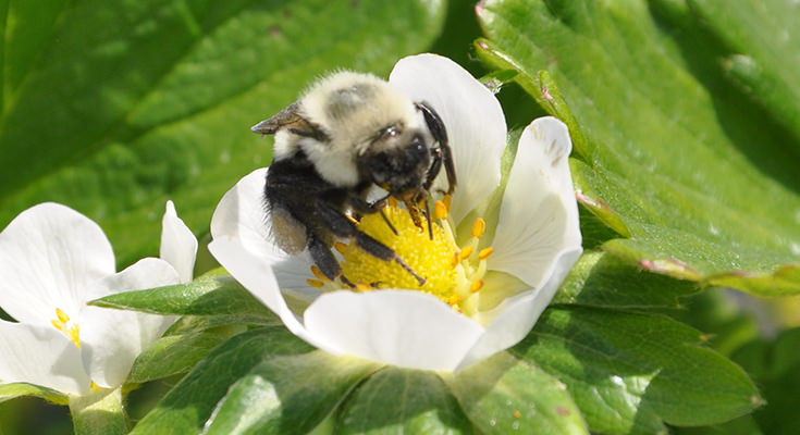 BVT used as a pollen delivery system