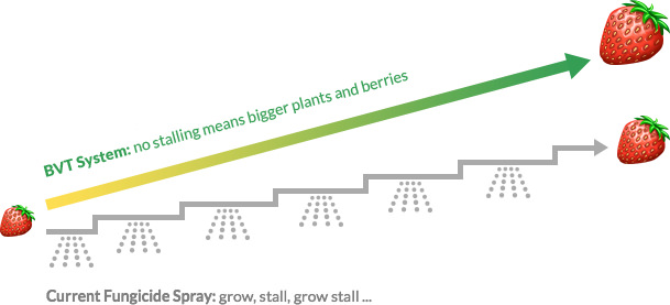 growth of strawberries - comparison of BVT with conventional fungicide spraying