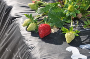 Strawberries that have benefited from BVT inoculum