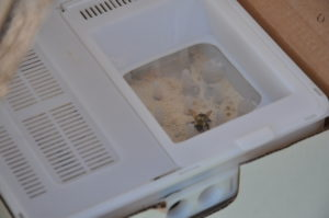 A bumblebee in BVT's inoculum dispenser system within a commercial bee hive