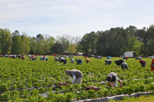 Strawberry pickers during harvesting time