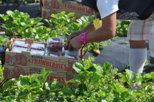 Packing strawberries for market