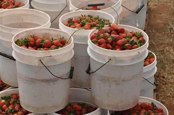 Strawberry harvesting - Grade A Bucket
