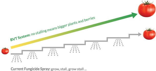 growth of tomatoes - comparison of BVT with conventional fungicide spraying