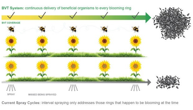 growth of sunflowers with BVT versus pesticide spraying