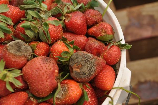 Strawberry harvesting - Grade C Bucket