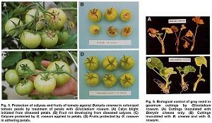 Gliocladium Roseum, a versatile adversary of Botrytis Cinerea in crops