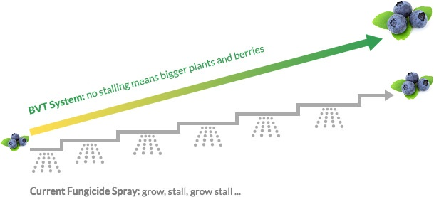 growth of blueberries - comparison of BVT with conventional fungicide spraying
